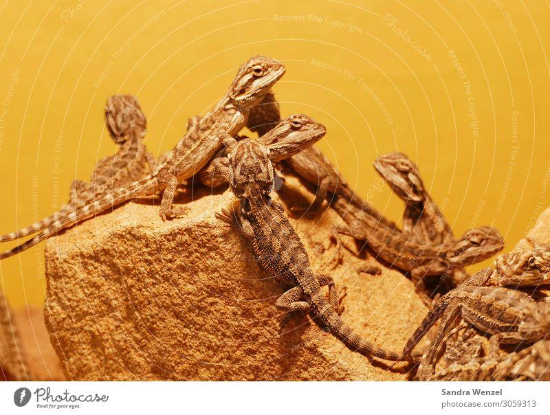 Geckos Tier Tiergruppe schlafen Blick Reptil Farbfoto Menschenleer Hintergrund neutral