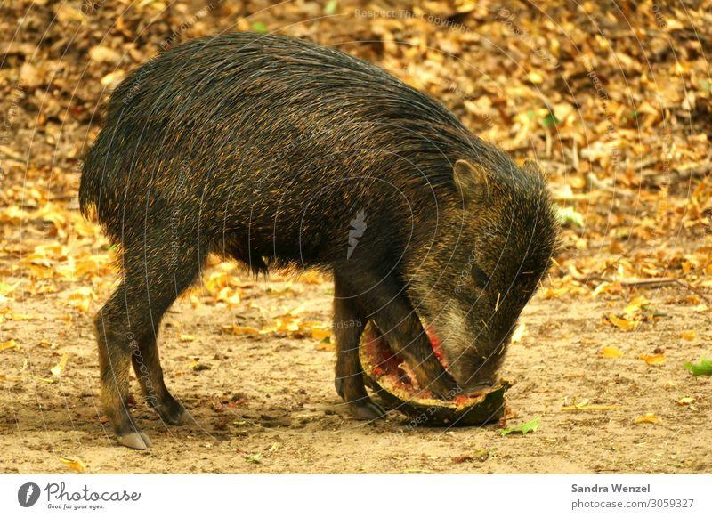 Wildschweinbaby Tier Wildtier 1 Tierjunges Fressen stehen Schwein Farbfoto Menschenleer Zentralperspektive
