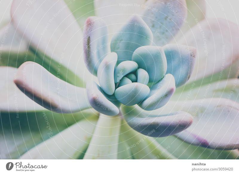 Nahaufnahme einer Echeveria opalina Topf schön Garten Gartenarbeit Kunst Pflanze Blume Blatt Blüte exotisch Farbe Opalglas Pastelltöne Sukkulenten Fettpflanze