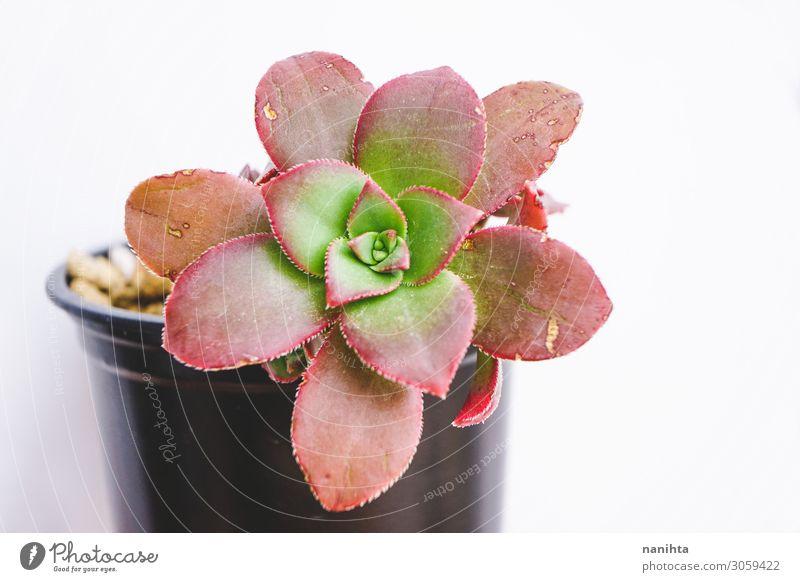 Wunderschöne Nahaufnahme einer Aeonium-Kiwi. Topf Garten Gartenarbeit Kunst Pflanze Blume Blatt Farbe Aeonium Kiwi Sukkulenten Fettpflanze Echeverien Sedeverien