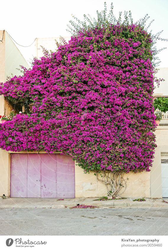 Wunderschöner Paperflower-Busch bedeckt die Wand eines Wohnhauses Hintergrund Blütezeit Überstrahlung botanisch Bougainvillea hell Buchse farbenfroh