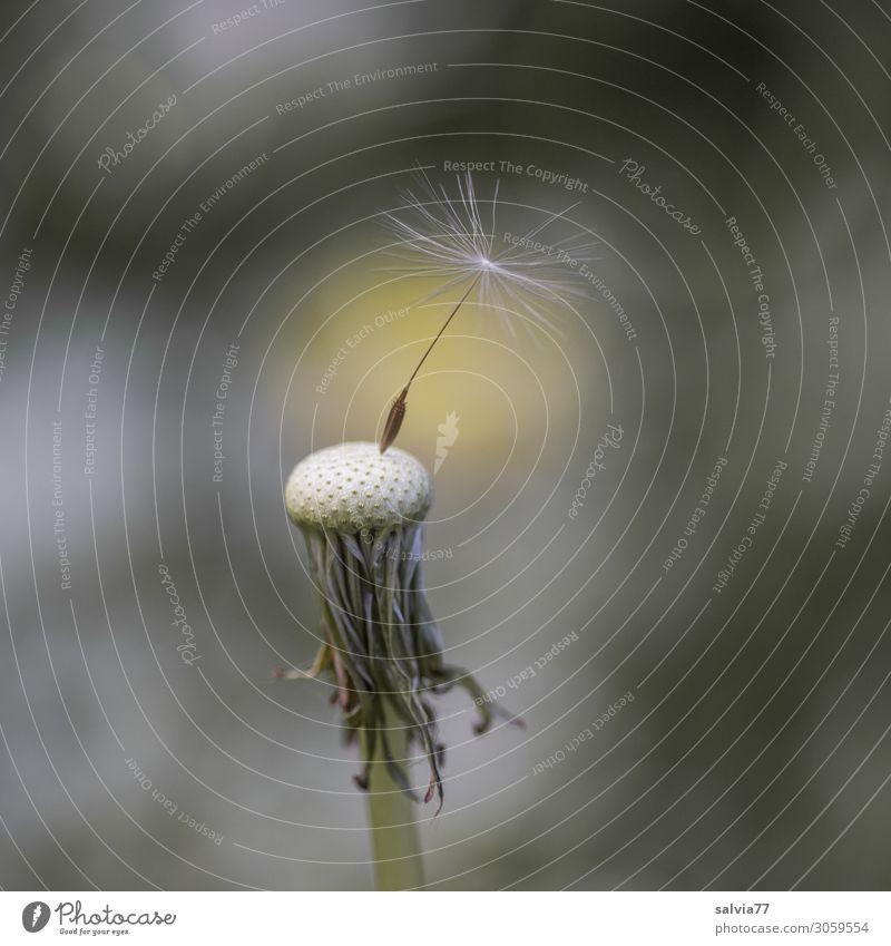 Löwenzahn Umwelt Natur Pflanze Frühling Sommer Blume Wildpflanze Samen Wiese oben positiv Leichtigkeit Wandel & Veränderung Wege & Pfade letzte Fortpflanzung
