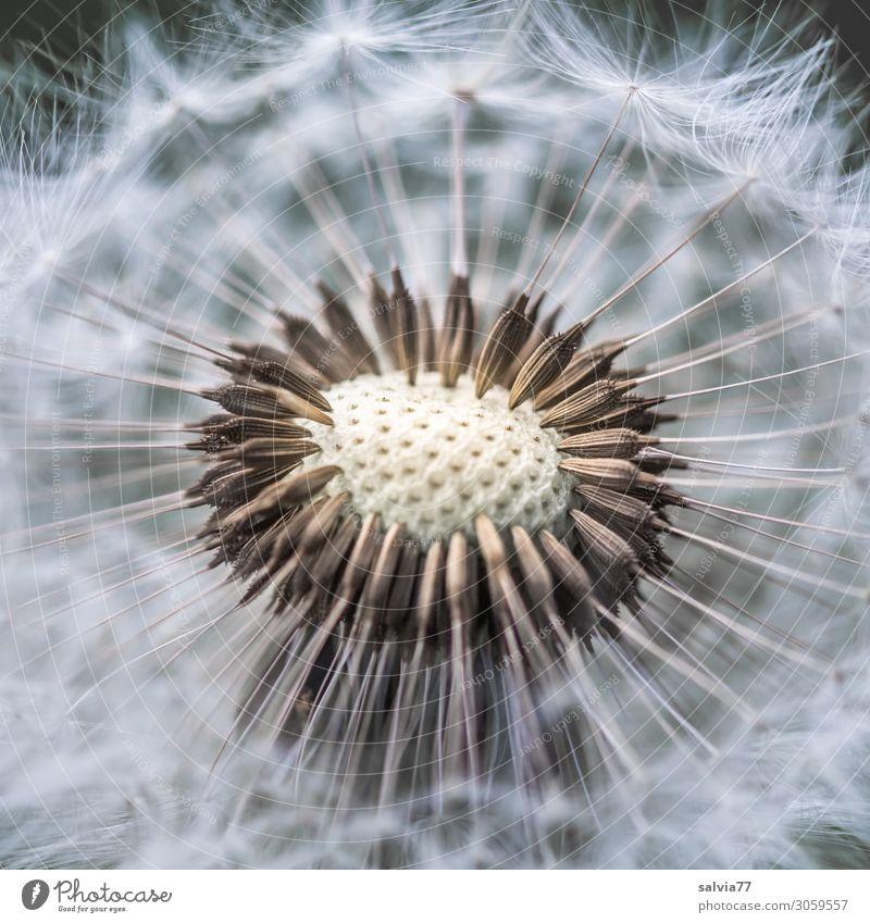 Pusteblume Umwelt Natur Pflanze Frühling Sommer Blume Blüte Wildpflanze Löwenzahn Samen Wiese dünn klein rund weich Leichtigkeit Wandel & Veränderung