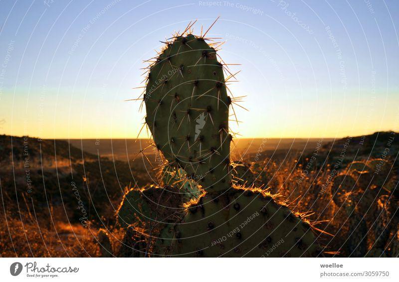 Kaktus Ausflug Abenteuer Ferne Freiheit Natur Landschaft Wolkenloser Himmel Sonnenaufgang Sonnenuntergang Felsen Wüste USA Texas Amerika blau braun gelb gold