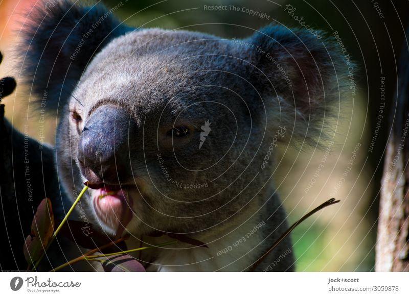 enjoy it! Koala mag Eukalyptus Eukalyptusbaum Tiergesicht 1 genießen authentisch exotisch natürlich niedlich Gefühle Stimmung Gelassenheit Leben Konzentration