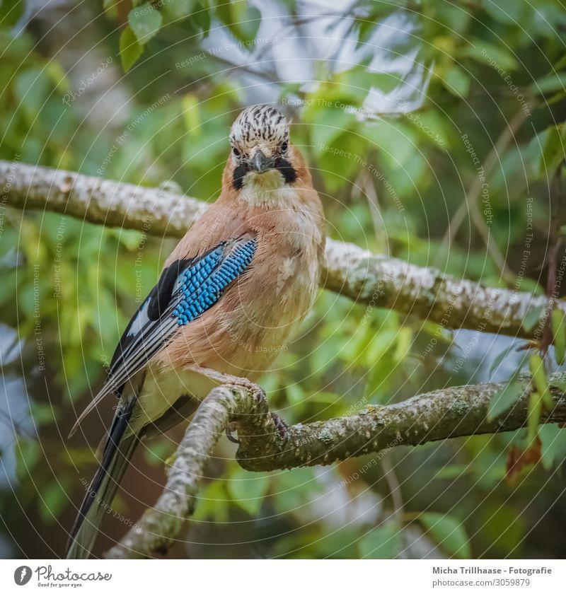 Eichelhäher im Baum Natur blau grün weiß Tier Blatt schwarz gelb Auge natürlich orange Vogel Kopf Wildtier Feder