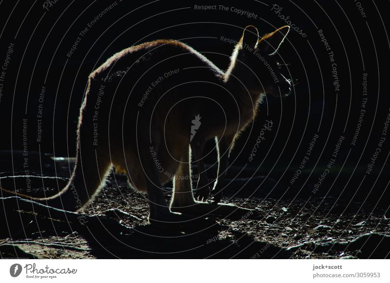 kangaroo Silhouette Känguruh 1 Tier leuchten außergewöhnlich dunkel einfach exotisch Originalität schwarz Gefühle Wachsamkeit Gelassenheit Inspiration Logo