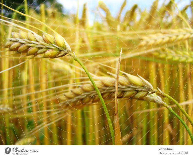 Gerste ganz nah Sommer gelb Feld Getreide Korn Ähren