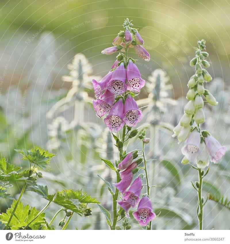 wenn alles blüht Natur Sommer Pflanze Blume Blüte Nutzpflanze Wildpflanze Fingerhut Wiesenblume Blütenstauden Giftpflanze Heilpflanzen Garten Blühend Wachstum