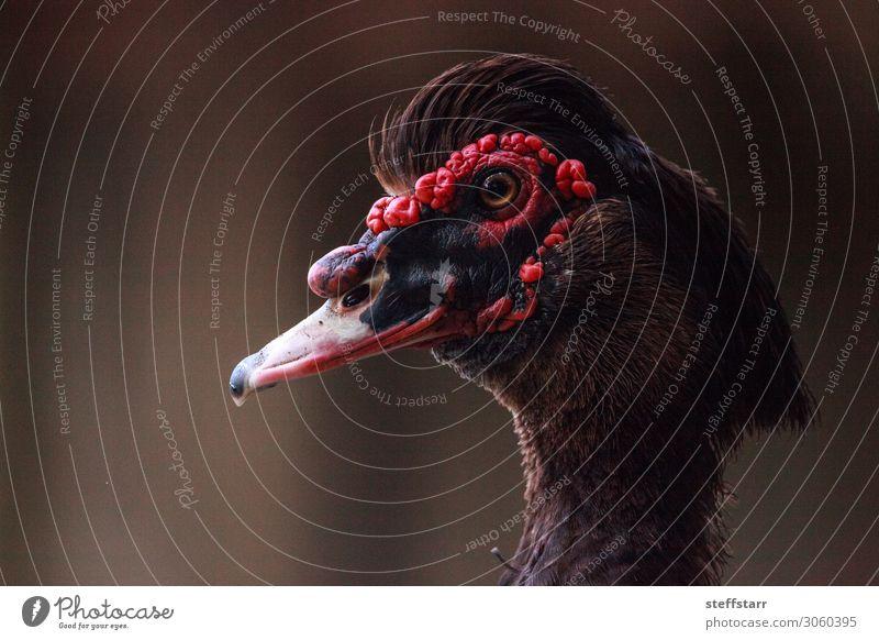 Kopf einer männlichen Moskauer Ente Cairina moschata mit roten Karotten Sommer Natur Tier Nutztier Vogel 1 braun schwarz Muskovy Ente Karunkel rote Karunkel