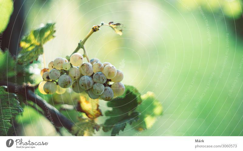 Grüne Weintrauben im Weinberg in der Erntezeit. Frucht Alkohol Winter Keller Kultur Natur Blatt natürlich grün Farbe riesling Weingut Ackerbau Haufen Biografie