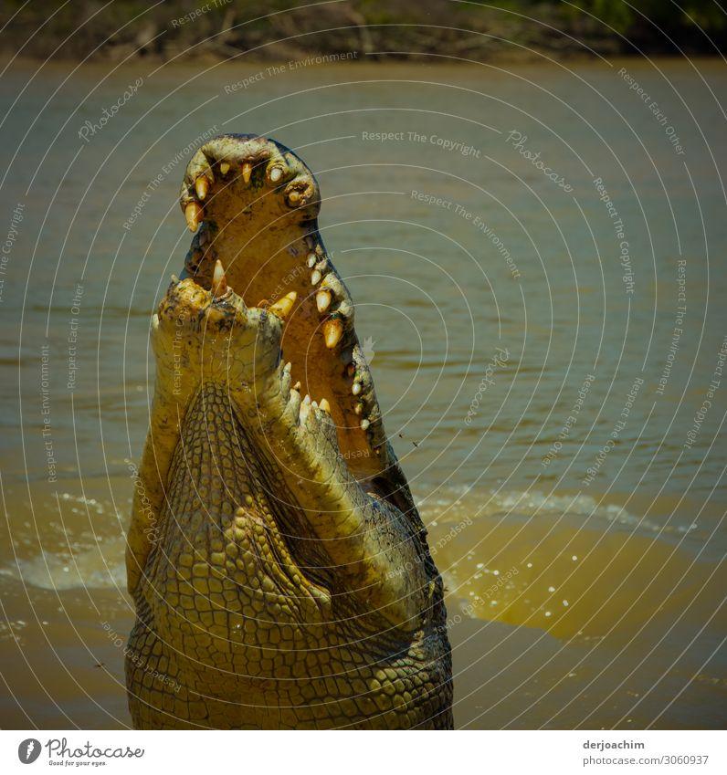 Er will nur spielen //. Krokodil im Fluss ,das mit geöffnetem Maul, und mit dem Kopf aus dem Fluß auftaucht und das Maul  aufreißt. Man sieht ganz deutlich die Zähne.  - Queensland -