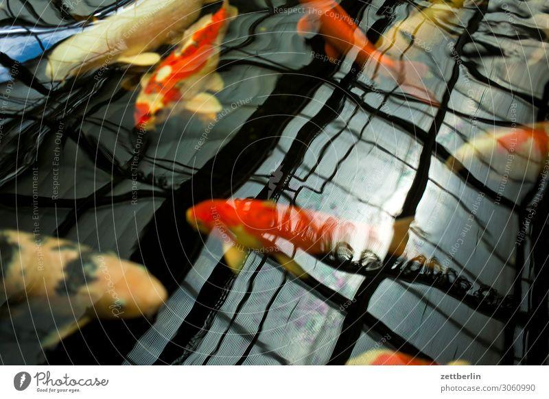 Brokatkarpfen Aquarium Asien Becken exotisch Fisch Karpfen Koi Wasser Wasseroberfläche Japan Japanisch Tierzucht züchten Schwimmen & Baden
