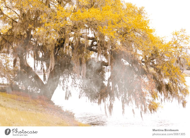 Nebliger Herbstmorgen in South Carolina an einem See mit einer Eiche. Natur Landschaft Pflanze Nebel Baum Moos Blatt Felsen träumen natürlich gold Farbe Süden