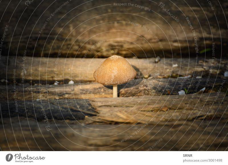 Pilz Natur Pflanze Holz dunkel ungenießbar Totholz keine Person Nutzholz Fliegenpilz giftiger Pilz Außenaufnahme Menschenleer