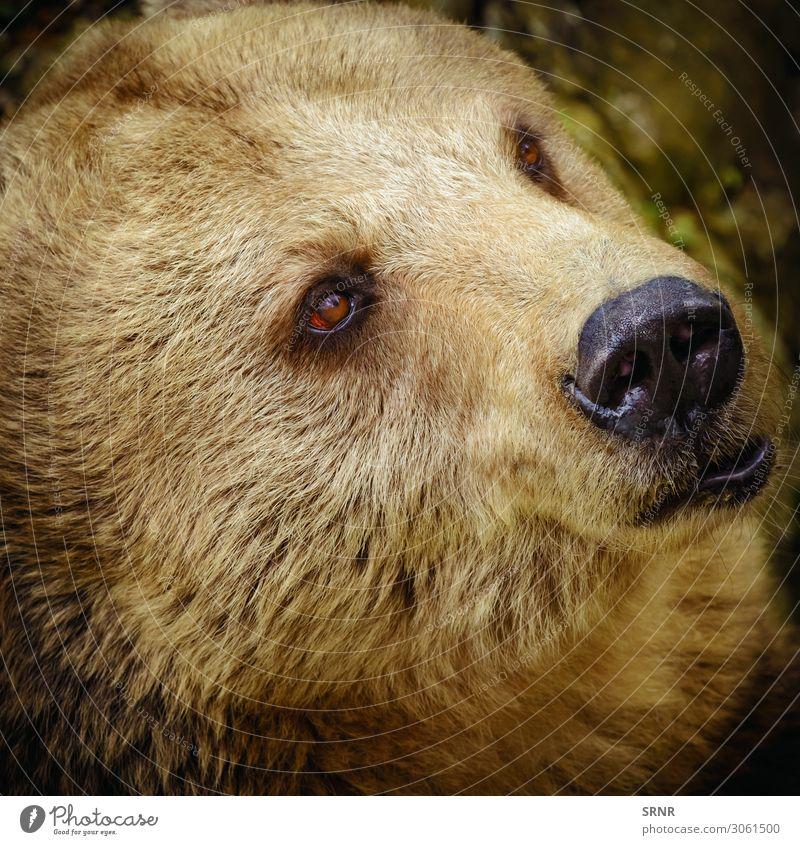 Porträt des Bären Tier Wildtier wild Braunbär Fleischfresser Fauna Raubtier ursus Grizzly Tierwelt Blick