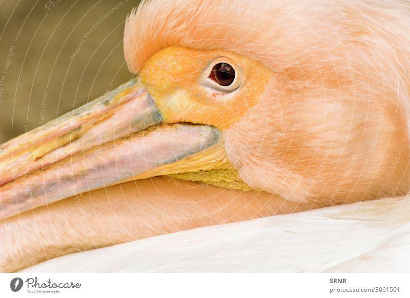 Pelikan Tier Vogel wild Schnabel Auge Fauna Kopf Schwimmvogel Entenvögel Tierwelt Außenaufnahme Porträt