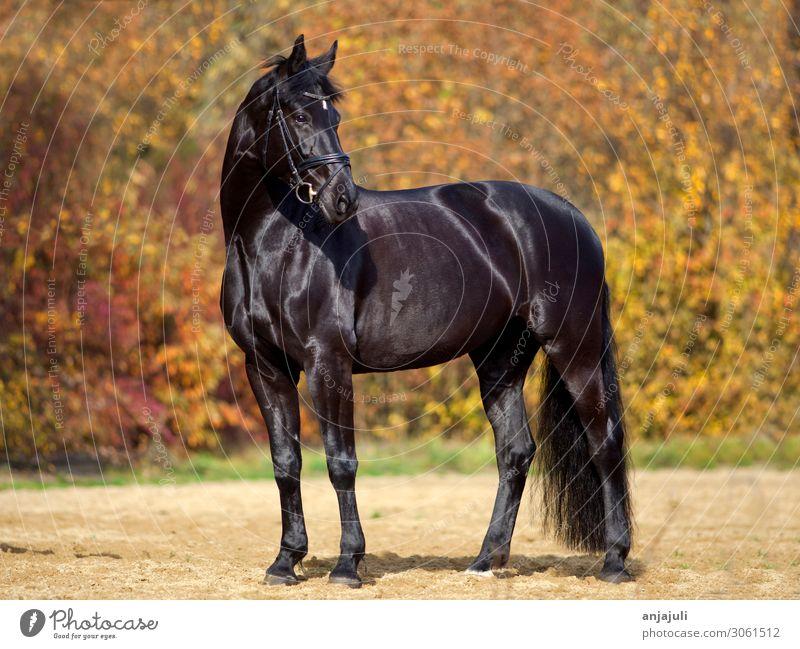 Schwarzes Pferd mit buntem Herbst Blätter Hintergrund blätter hintergrund glanz hell farben herstlich rappe portrait schwarz schwarzes pferd wald herbstwald
