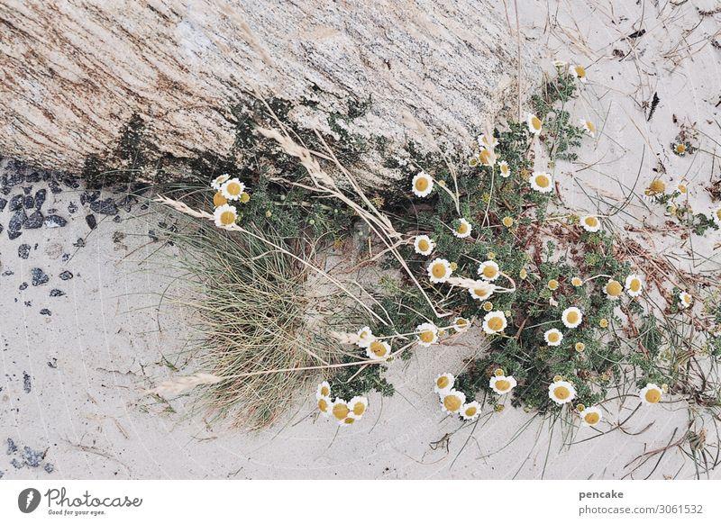 blasse schönheit Natur Urelemente Sand Sommer Blume Gras Nordsee ästhetisch Strand Stein Dünengras bleich Dekoration & Verzierung Blüte Dänemark Kamille