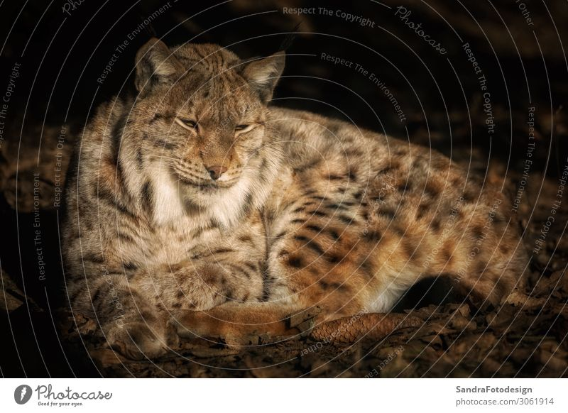 Lying lynx in the sun and relaxing Natur Herbst Park Tier Wildtier Zoo 1 Zufriedenheit Tierliebe 300mm animal animal photography autumn beautiful