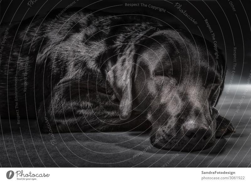 Sleeping black labrador in studio Erholung Tier Haustier Hund 1 liegen Glück Zufriedenheit Tierliebe animal cute dear dog dog food grey hair head Labrador