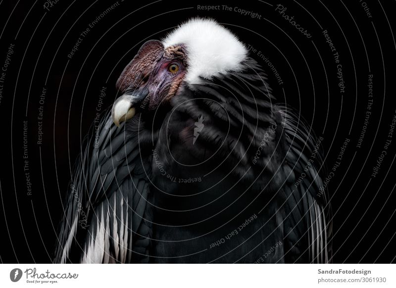 Anden Condor with a black background Zoo Natur Tier 1 selbstbewußt Kraft alone animal beak beauty bird body exotic face freedom head hunter large natural