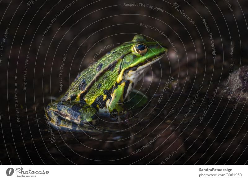 A green frog sitting in den moor and waiting Moor Sumpf See Tier Wildtier Frosch springen isolated wet adventure natural small forest biology colorful organism