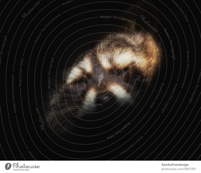 Head of a raccoer against black background Zoo Natur Tier Wildtier 1 Tierliebe adorable animal attractive Hintergrundbild charming cuddly curiosity curious cute