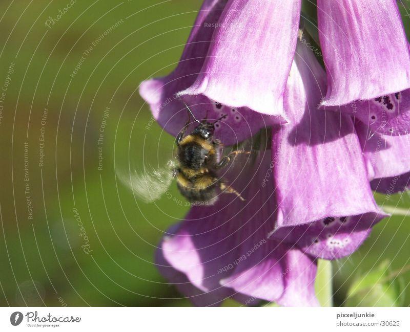 Bienen-Blütenjagd Insekt Luftverkehr Hönig sammeln