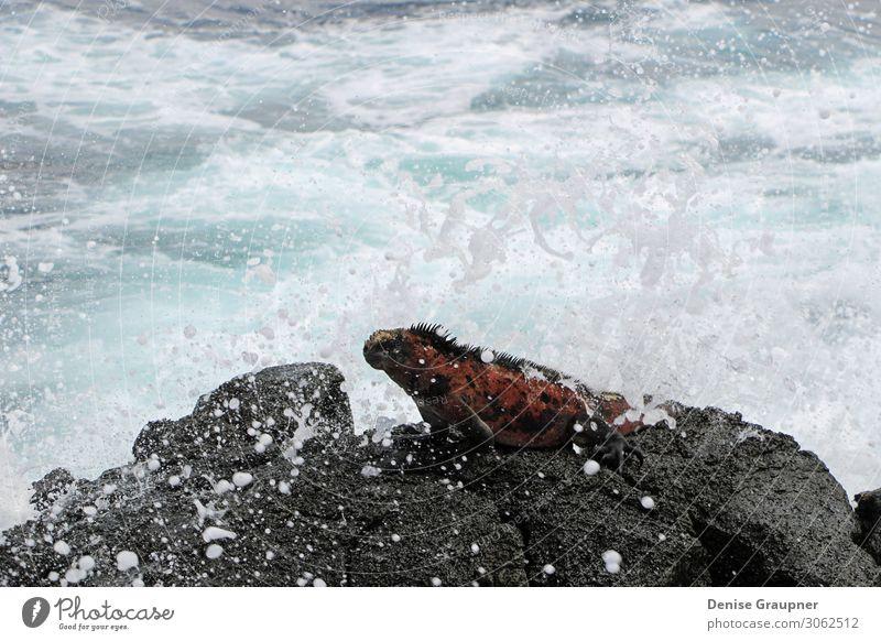 Sea lizard in the Galapagos Islands Ferien & Urlaub & Reisen Strand Meer Insel Wellen Umwelt Natur Tier Wasser Klima Schönes Wetter Urwald Wildtier 1 entdecken