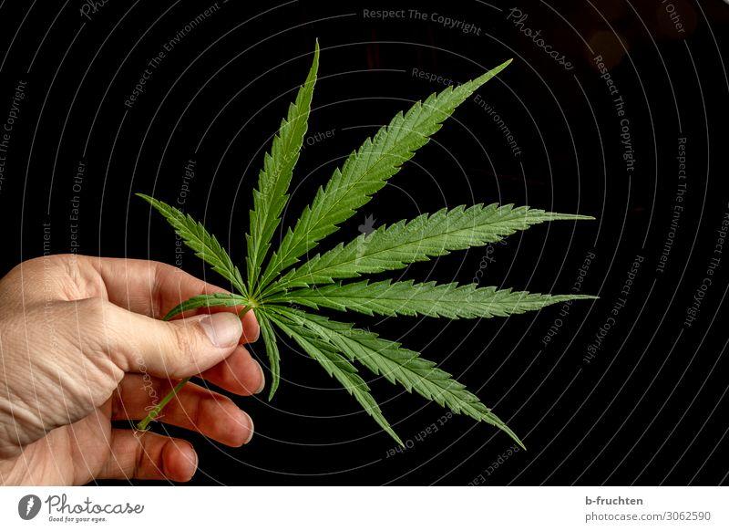 Hanfblatt Mann Erwachsene Hand Finger Pflanze Blatt beobachten berühren festhalten frei frisch schön grün gefährlich Drogensucht Cannabisblatt Rauschmittel