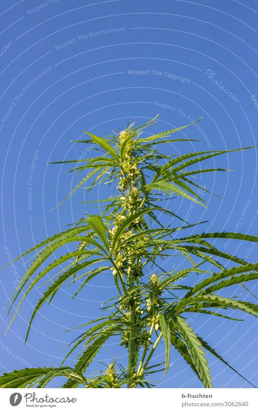 Cannabis Alternativmedizin Pflanze Hanf Blatt Nutzpflanze Wachstum frei frisch blau grün Cannabisblatt Rauschmittel Himmel himmelblau Medikament Verbote