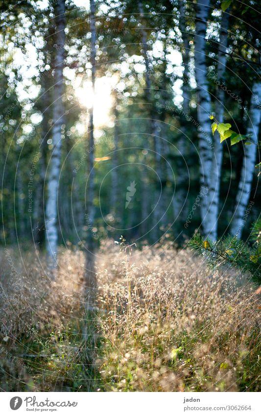 ein lichtblick. Lichteinfall Lichtung Lichtschein Menschenleer Schatten Farbfoto Tag Außenaufnahme Sonnenlicht Natur Lichtspiel Unschärfe Pflanze Birkenwald