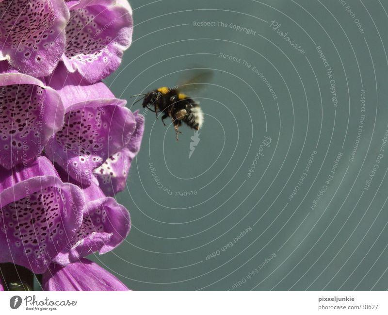 Blütentor zum Honig Biene Flugzeuglandung
