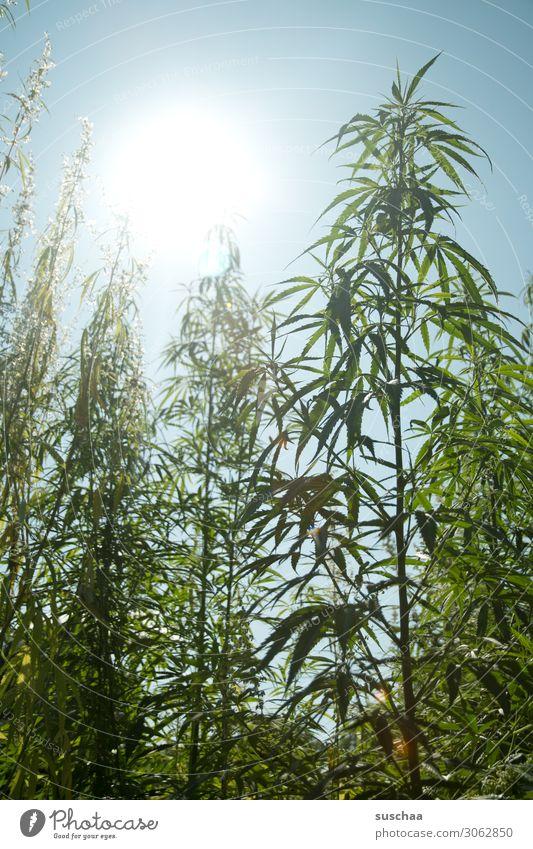 hanf im gegenlicht Hanf Pflanze Natur Garten Gartenbau Anbau züchten Cannabis THC ungesetzlich Alternativmedizin alternativ Rauschmittel Himmel Blatt Sommer
