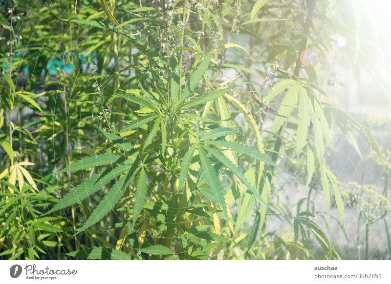 hanf (2) Hanf Pflanze Natur Garten Gartenbau Anbau züchten Cannabis THC ungesetzlich Alternativmedizin alternativ Rauschmittel Blatt Sommer Wachstum Pflege