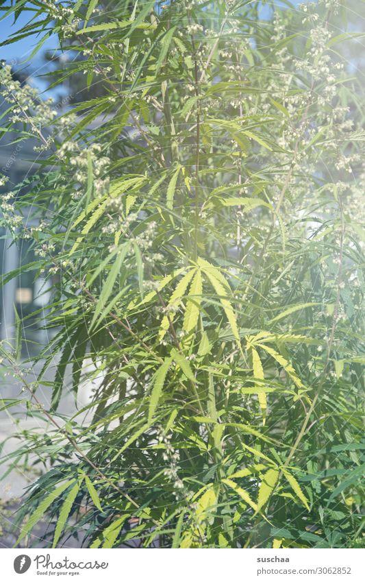 hanf Hanf Pflanze Natur Garten Gartenbau Anbau züchten Cannabis THC ungesetzlich Alternativmedizin alternativ Rauschmittel Blatt Sommer Wachstum Pflege