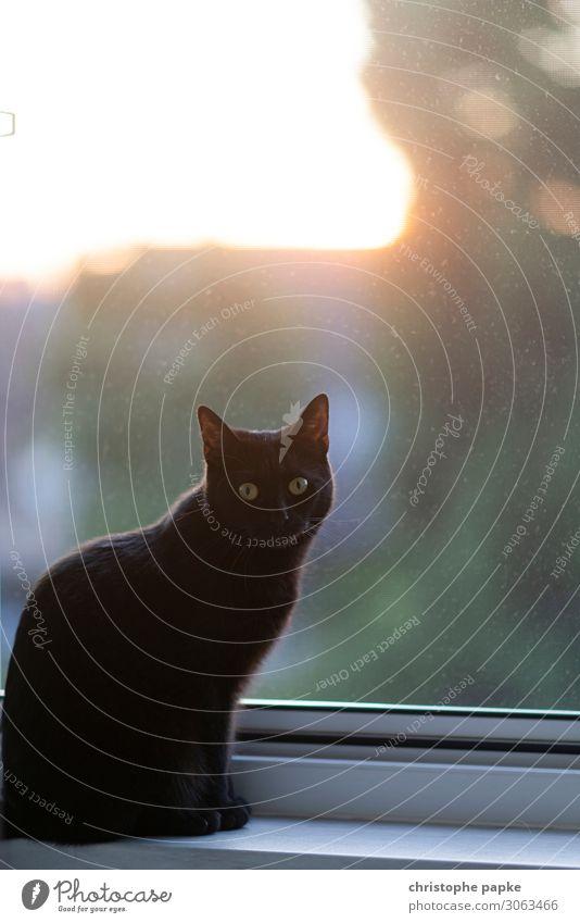 Schwarze Katze an Fenster im Gegenlicht schwarz Blick in die Kamera Tier Haustier Tierporträt Innenaufnahme Tiergesicht niedlich Fell Hauskatze Katzenauge schön