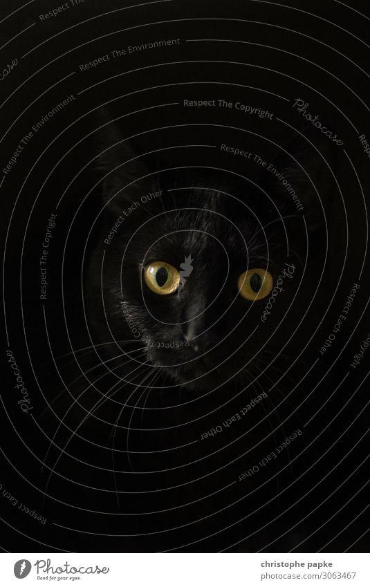 Schwarze Katze schaut in Kamera vor schwarzem Hintergrund 1 Mensch Tier Haustier Tiergesicht beobachten Neugier Hauskatze Katzenauge Katzenkopf Farbfoto