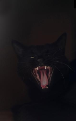 Schwarze Katze gähnt vor dunklem Hintergrund Haustier Tiergesicht 1 dunkel schwarz Müdigkeit gähnen Zähne zeigen Zunge Katzenzunge Farbfoto Gedeckte Farben