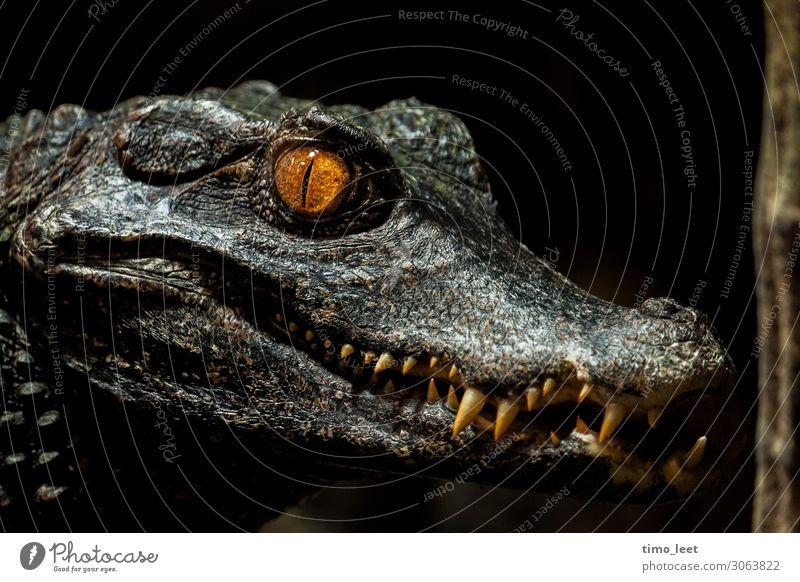 The Gator Tier Tiergesicht Schuppen Zoo 1 beobachten Jagd Blick Aggression ästhetisch bedrohlich dunkel exotisch gruselig maritim schön wild grau grün orange