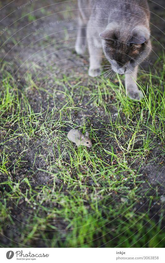 Leben und Tod Wiese Haustier Wildtier Katze Maus 2 Tier Jagd authentisch klein wild grau grün Todesangst gefährlich Katz und Maus Intuition Trieb Farbfoto