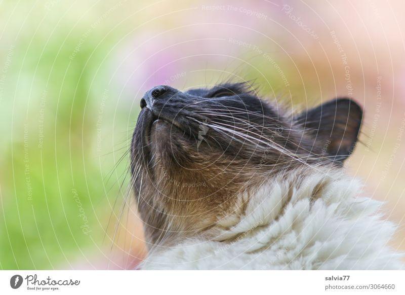 Vogelbeobachtung Natur Tier Haustier Katze Tiergesicht Fell Thailand 1 beobachten achtsam Wachsamkeit Hoffnung Farbfoto Außenaufnahme Makroaufnahme Menschenleer