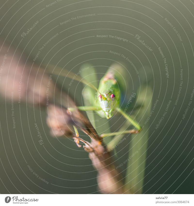 lange Haxen Umwelt Natur Sommer Pflanze Gras Tier Wildtier Insekt Langfühlerschrecke Heuschrecke 1 krabbeln Blick Auge Klettern Farbfoto Außenaufnahme