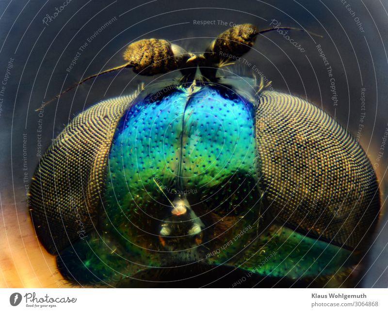 Design made by nature, Kopf einer winzigen Fliege 100fach vergrößert Umwelt Natur Tier Sommer Tiergesicht beobachten Blick fantastisch blau grün schwarz Chitin
