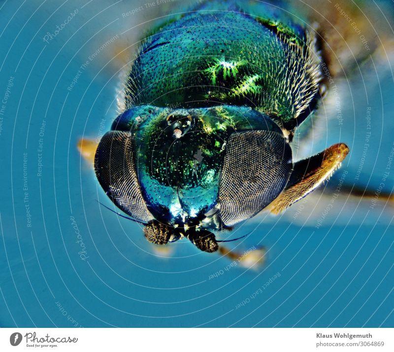 Coole Farben Umwelt Natur Tier Sommer Fliege Tiergesicht 1 beobachten Blick sitzen blau grün Fühler Chitin Fell Behaarung Facettenauge Kopf Farbfoto Nahaufnahme