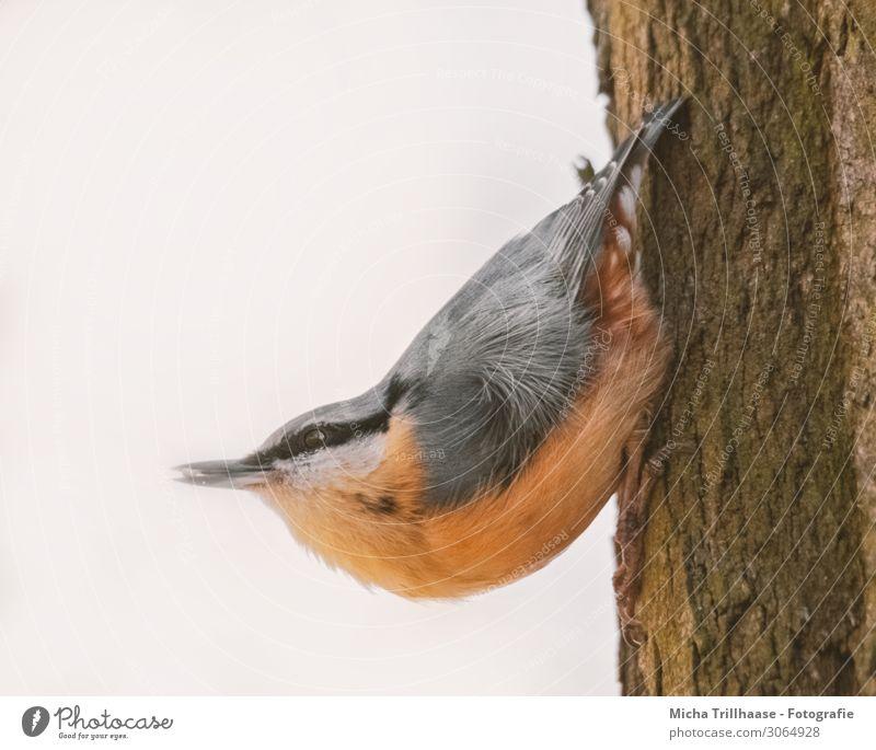 Kleiber am Baumstamm Natur Tier Sonne Sonnenlicht Schönes Wetter Wildtier Vogel Tiergesicht Flügel Krallen Kopf Schnabel Auge Feder gefiedert 1 Fressen hängen