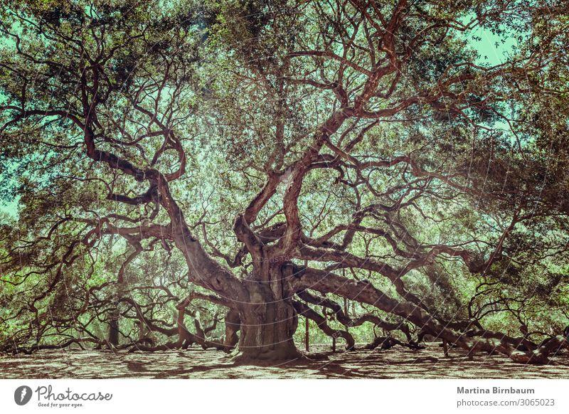 Angel Oak Tree auf John's Island, South Carolina. schön Ferien & Urlaub & Reisen Sommer Insel Natur Landschaft Himmel Baum Park Wald Küste Engel alt groß