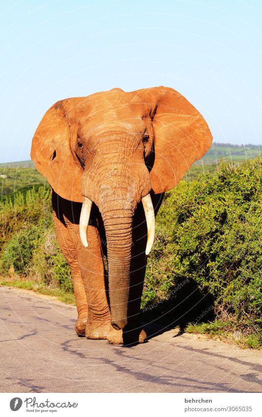 on the road again | king of the road Ferien & Urlaub & Reisen Tourismus Ausflug Abenteuer Ferne Freiheit Safari Wildtier Tiergesicht Elefant 1 außergewöhnlich