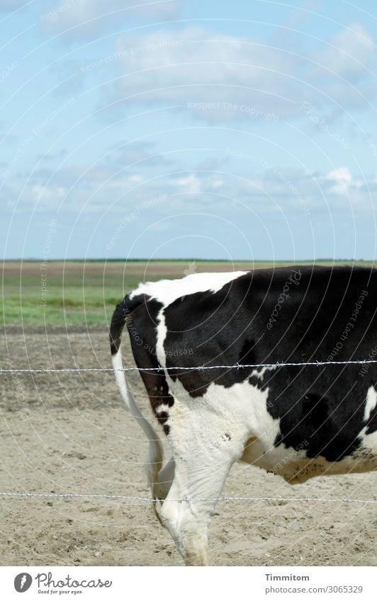 Dänisches Rind Ferien & Urlaub & Reisen Umwelt Natur Landschaft Urelemente Erde Sand Himmel Gras Wiese Feld Dänemark Tier 1 Stacheldrahtzaun stehen natürlich